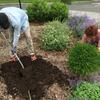 Volunteers planting and mulching