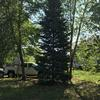 Image of large pine tree