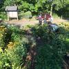 Volunteers working in a garden bed