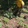 A volunteer planting a shade tolerant plant
