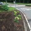 Pruned ground on the roundabout