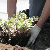 Volunteer planting perennial