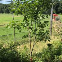 Pruned tree in park