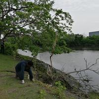 David Okeke (New Haven Promise Intern) pulling knotweed.