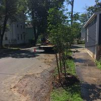 Trees planted across the street line