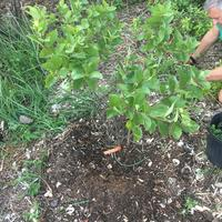 Planted beach plum