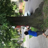 Volunteer pruning tree