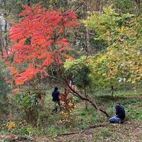 Removing invasives at Cherry Ann Park